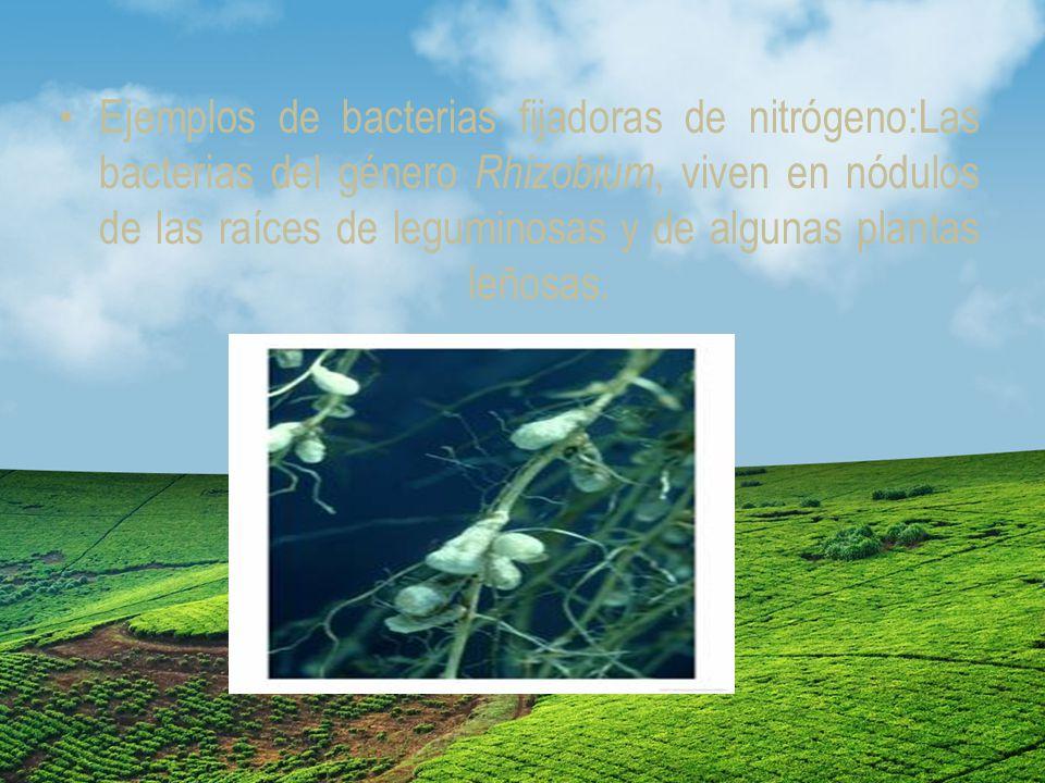 Ejemplos de bacterias fijadoras de nitrógeno:Las bacterias del género Rhizobium, viven en nódulos de las raíces de leguminosas y de algunas plantas leñosas.