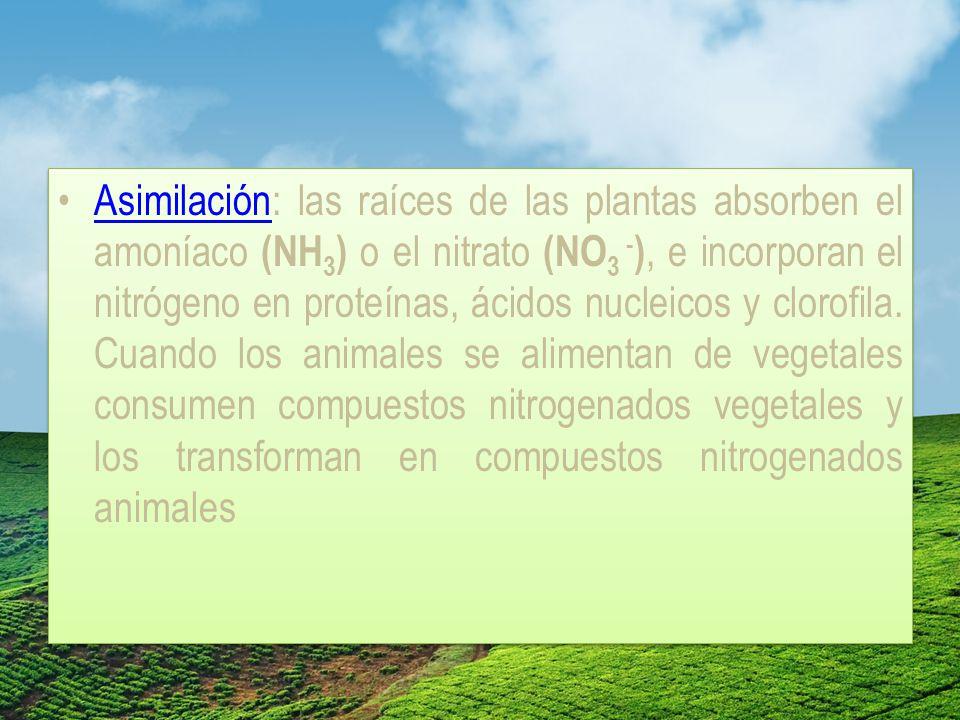 Asimilación: las raíces de las plantas absorben el amoníaco (NH3) o el nitrato (NO3 -), e incorporan el nitrógeno en proteínas, ácidos nucleicos y clorofila.