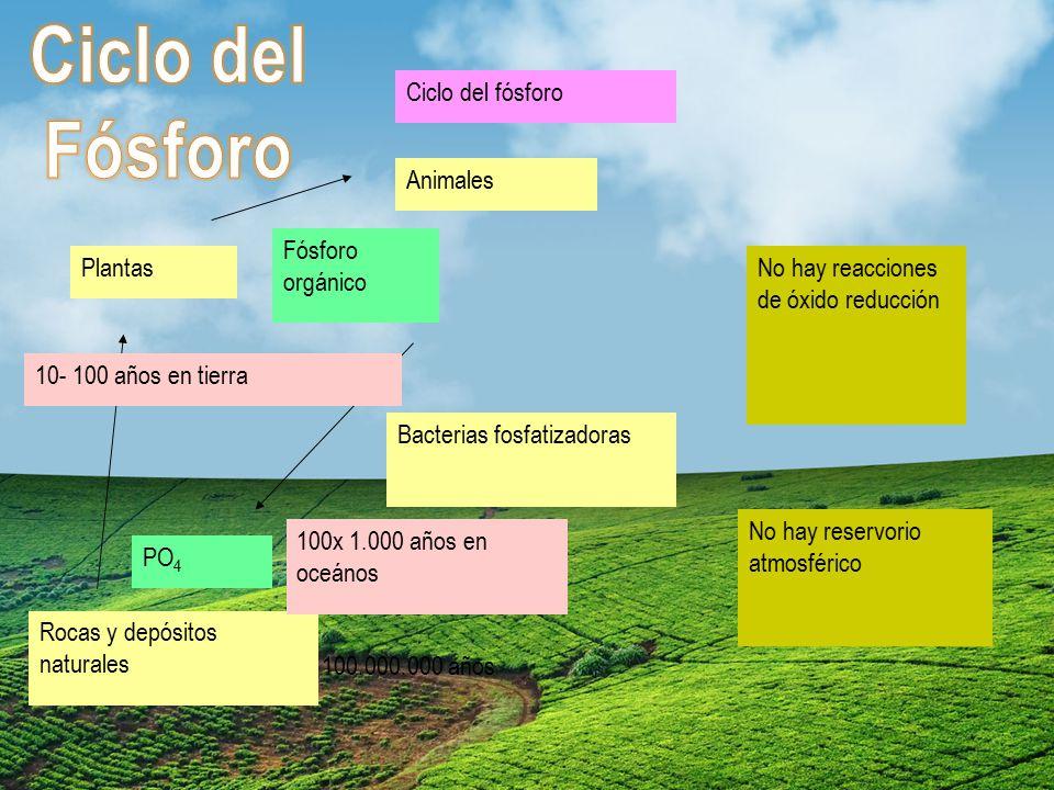 Ciclo del Fósforo Ciclo del fósforo Animales Fósforo orgánico Plantas