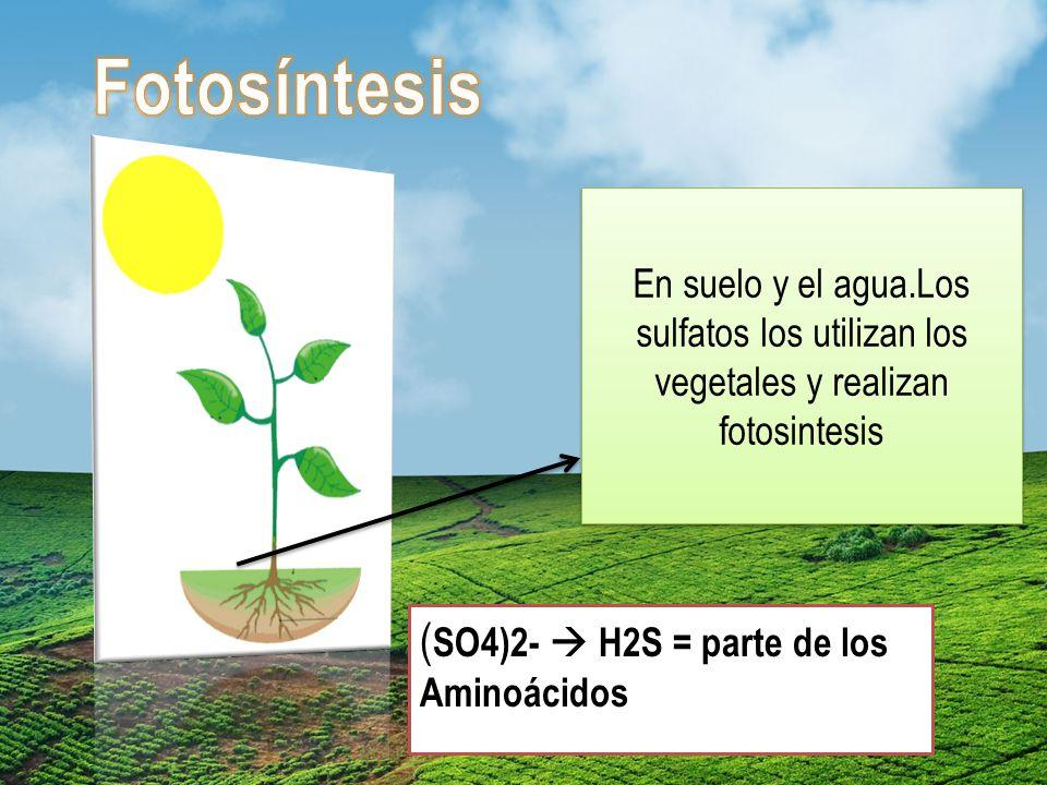 Fotosíntesis (SO4)2-  H2S = parte de los Aminoácidos