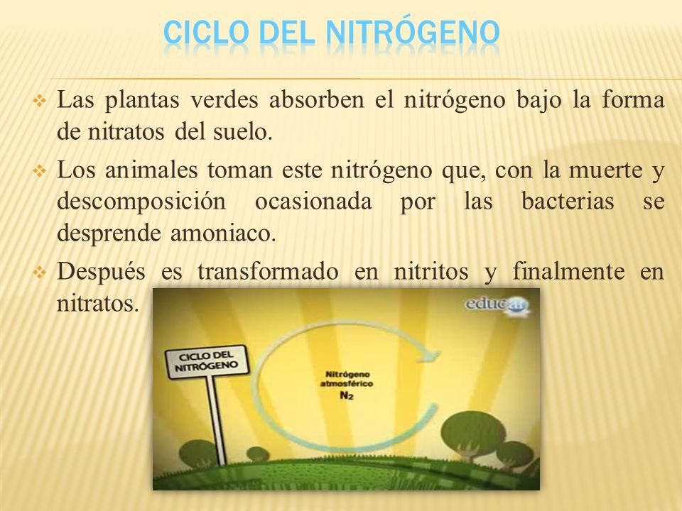 Ciclo del Nitrógeno Las plantas verdes absorben el nitrógeno bajo la forma de nitratos del suelo.