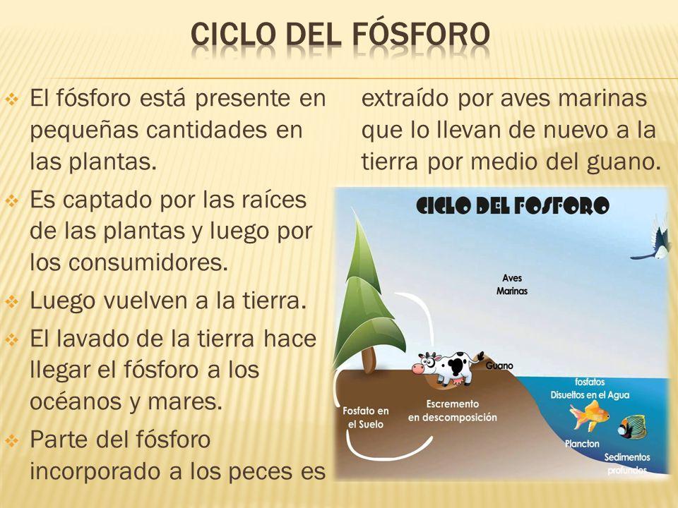 Ciclo del Fósforo Parte del fósforo incorporado a los peces es extraído por aves marinas que lo llevan de nuevo a la tierra por medio del guano.