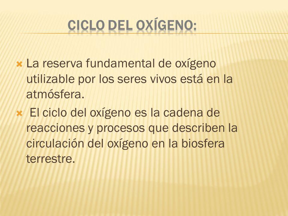 Ciclo del oxígeno: La reserva fundamental de oxígeno utilizable por los seres vivos está en la atmósfera.