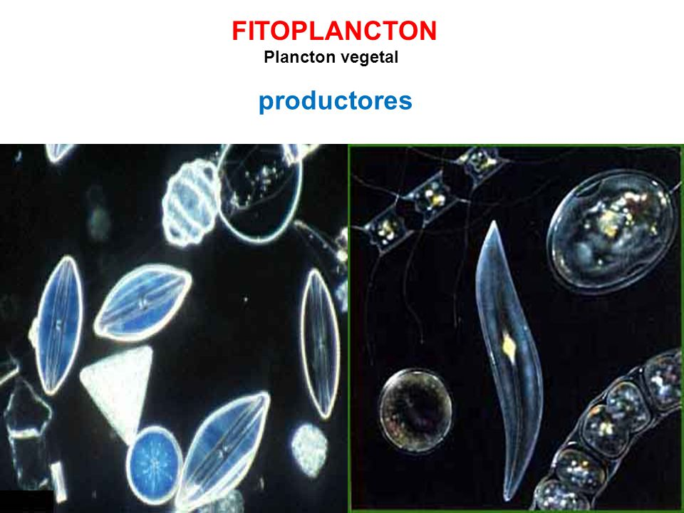FITOPLANCTON Plancton vegetal productores