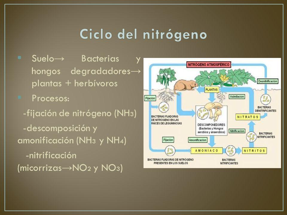 Ciclo del nitrógeno Suelo→ Bacterias y hongos degradadores→ plantas + herbívoros. Procesos: -fijación de nitrógeno (NH3)