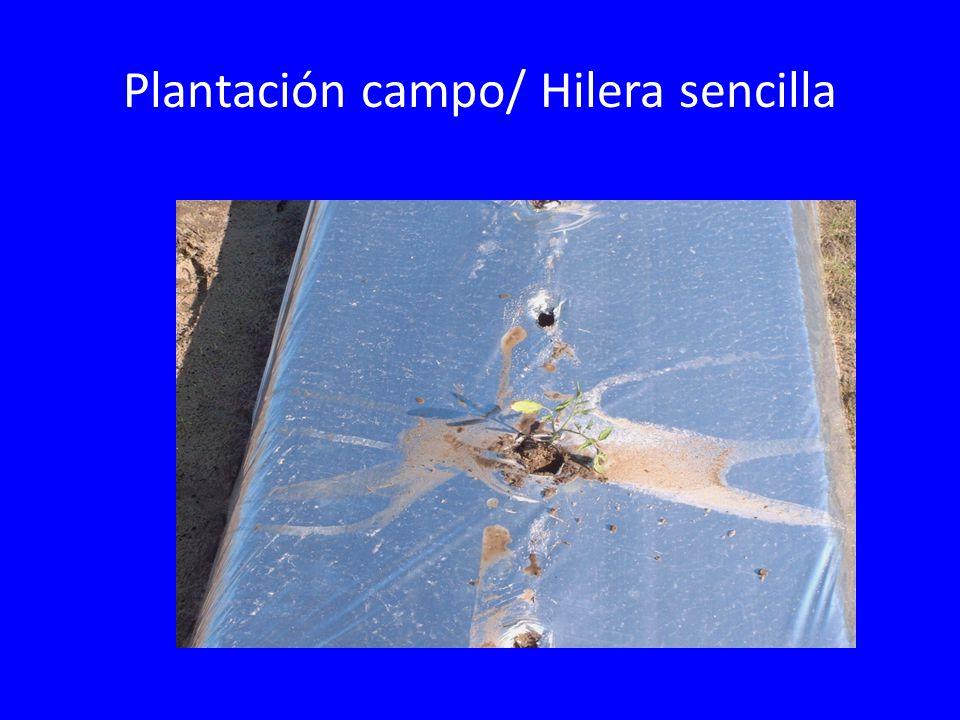Plantación campo/ Hilera sencilla