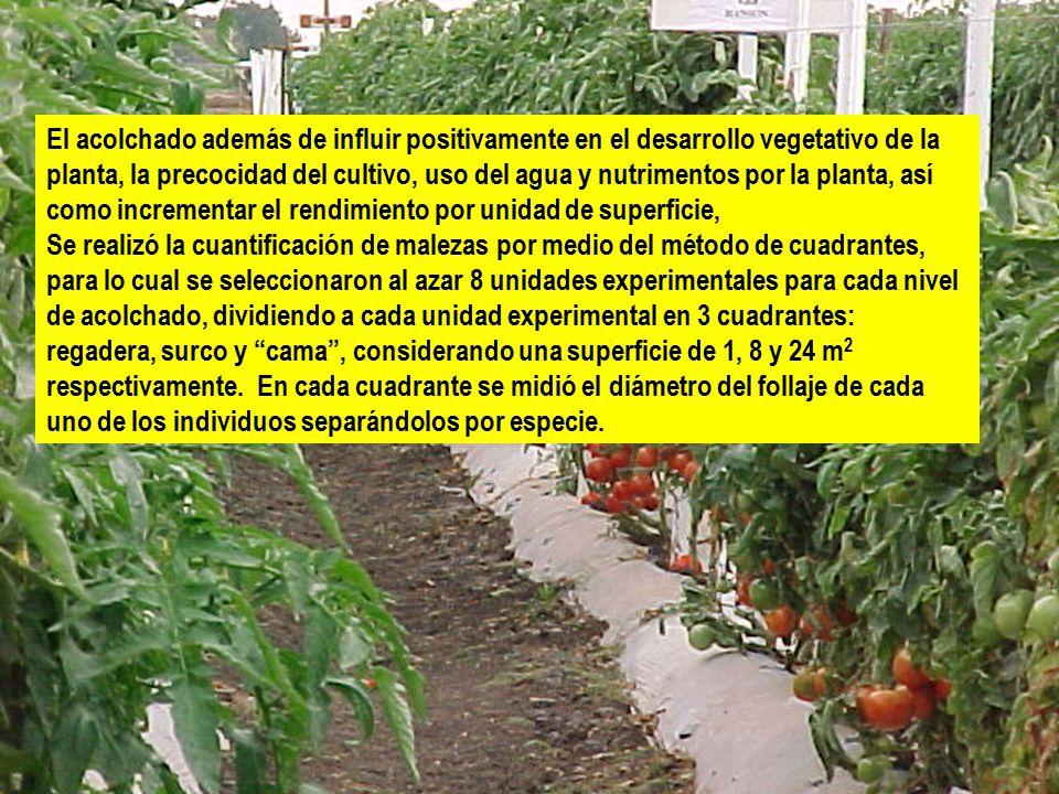 El acolchado además de influir positivamente en el desarrollo vegetativo de la planta, la precocidad del cultivo, uso del agua y nutrimentos por la planta, así como incrementar el rendimiento por unidad de superficie,