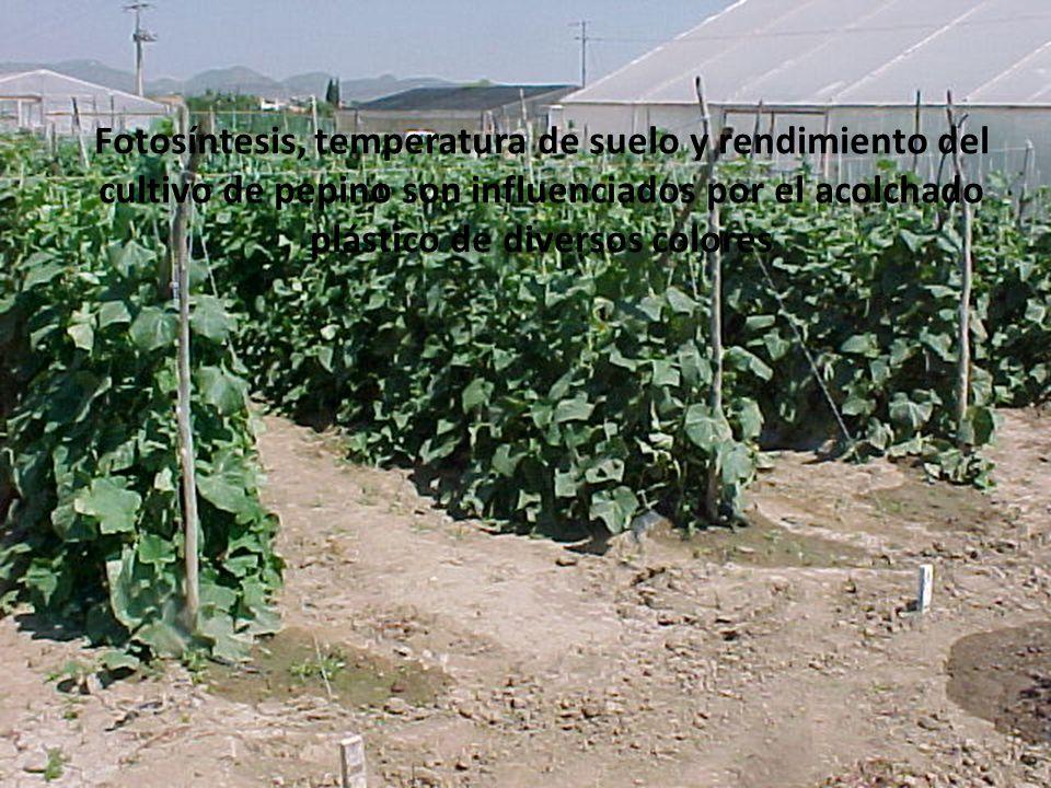 Fotosíntesis, temperatura de suelo y rendimiento del cultivo de pepino son influenciados por el acolchado plástico de diversos colores