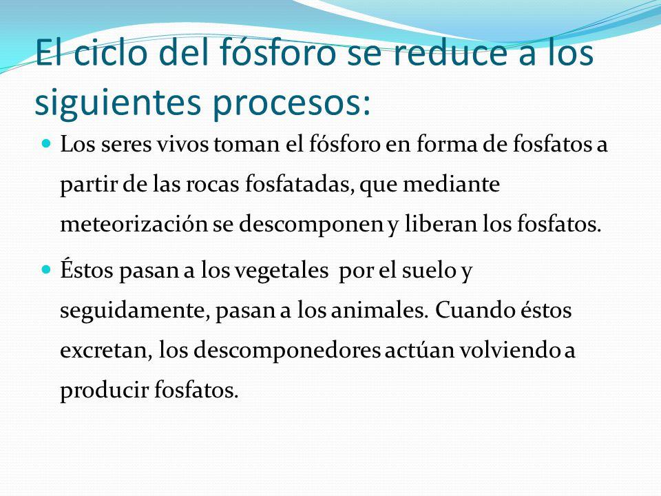 El ciclo del fósforo se reduce a los siguientes procesos: