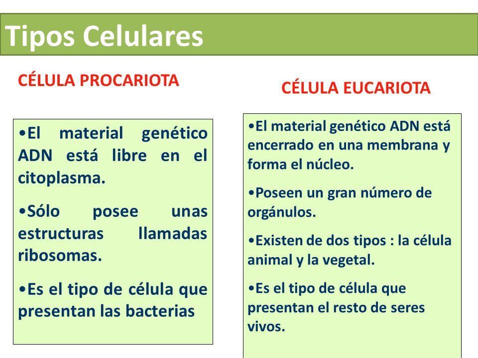 Tipos Celulares CÉLULA PROCARIOTA CÉLULA EUCARIOTA