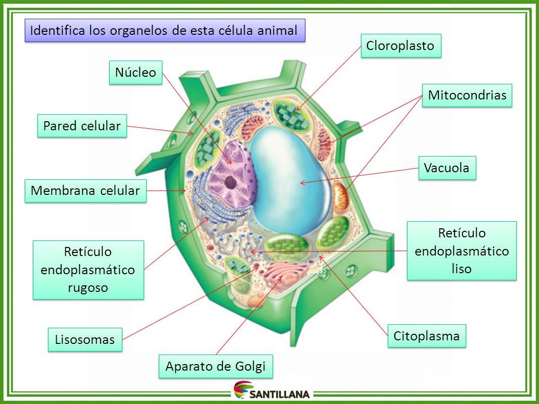 Identifica los organelos de esta célula animal Cloroplasto