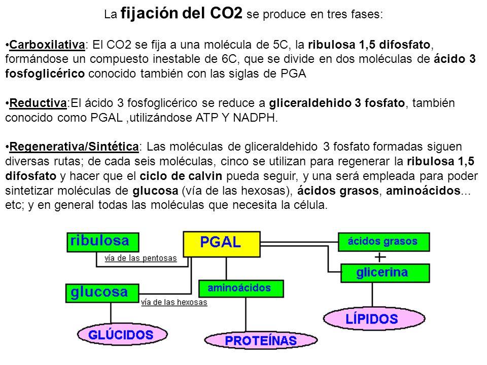 La fijación del CO2 se produce en tres fases: