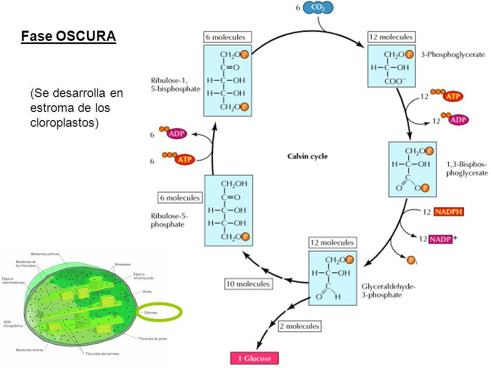 Fase OSCURA (Se desarrolla en estroma de los cloroplastos)