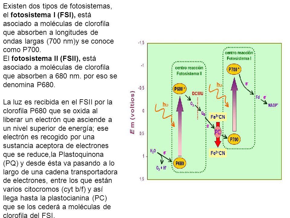 Existen dos tipos de fotosistemas, el fotosistema I (FSI), está asociado a moléculas de clorofila que absorben a longitudes de ondas largas (700 nm)y se conoce como P700.