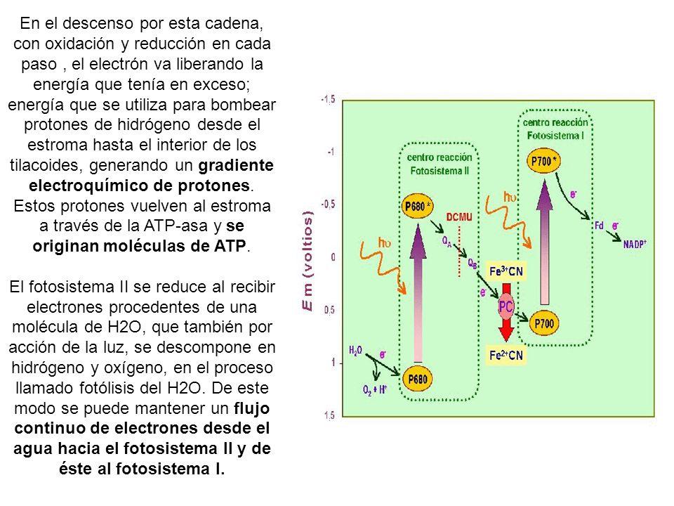En el descenso por esta cadena, con oxidación y reducción en cada paso , el electrón va liberando la energía que tenía en exceso; energía que se utiliza para bombear protones de hidrógeno desde el estroma hasta el interior de los tilacoides, generando un gradiente electroquímico de protones. Estos protones vuelven al estroma a través de la ATP-asa y se originan moléculas de ATP.