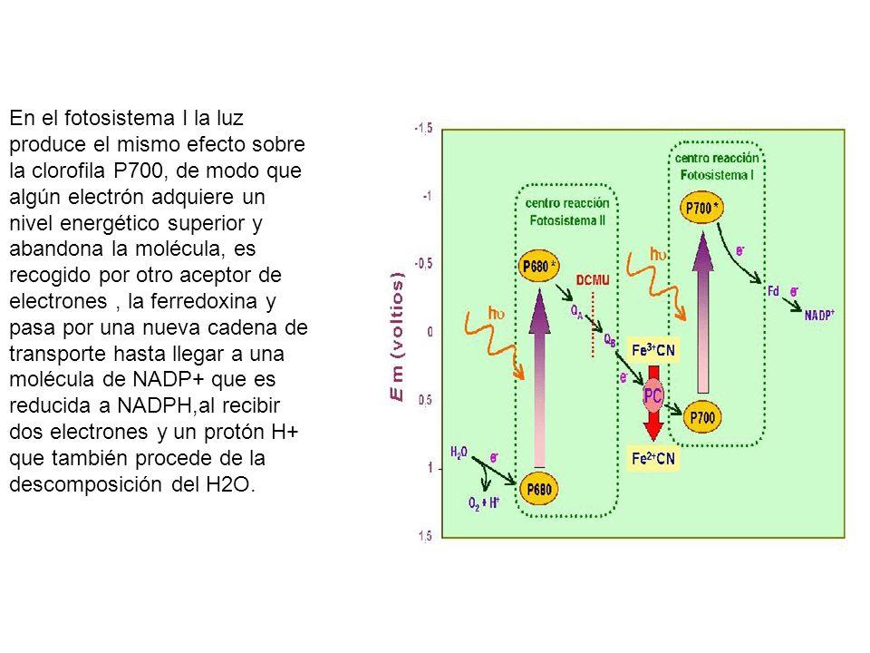 En el fotosistema I la luz produce el mismo efecto sobre la clorofila P700, de modo que algún electrón adquiere un nivel energético superior y abandona la molécula, es recogido por otro aceptor de electrones , la ferredoxina y pasa por una nueva cadena de transporte hasta llegar a una molécula de NADP+ que es reducida a NADPH,al recibir dos electrones y un protón H+ que también procede de la descomposición del H2O.