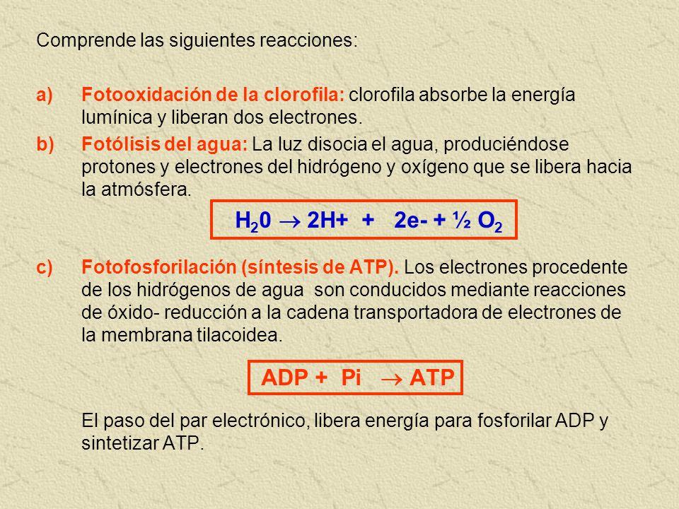 H20  2H+ + 2e- + ½ O2 ADP + Pi  ATP