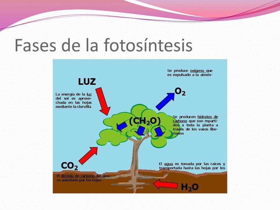 Fases de la fotosíntesis