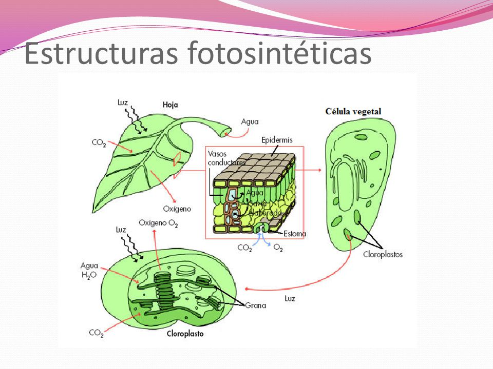 Estructuras fotosintéticas