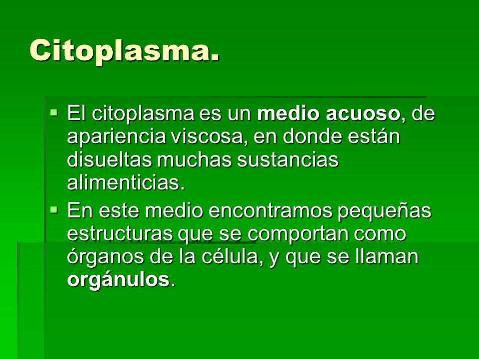 Citoplasma. El citoplasma es un medio acuoso, de apariencia viscosa, en donde están disueltas muchas sustancias alimenticias.