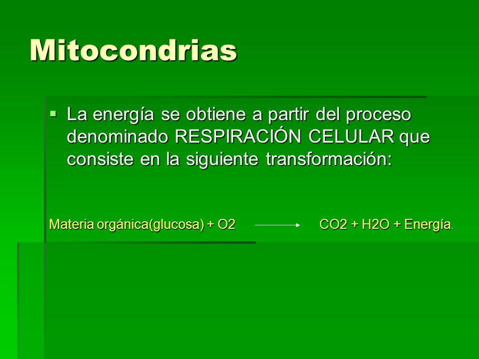 Mitocondrias La energía se obtiene a partir del proceso denominado RESPIRACIÓN CELULAR que consiste en la siguiente transformación: