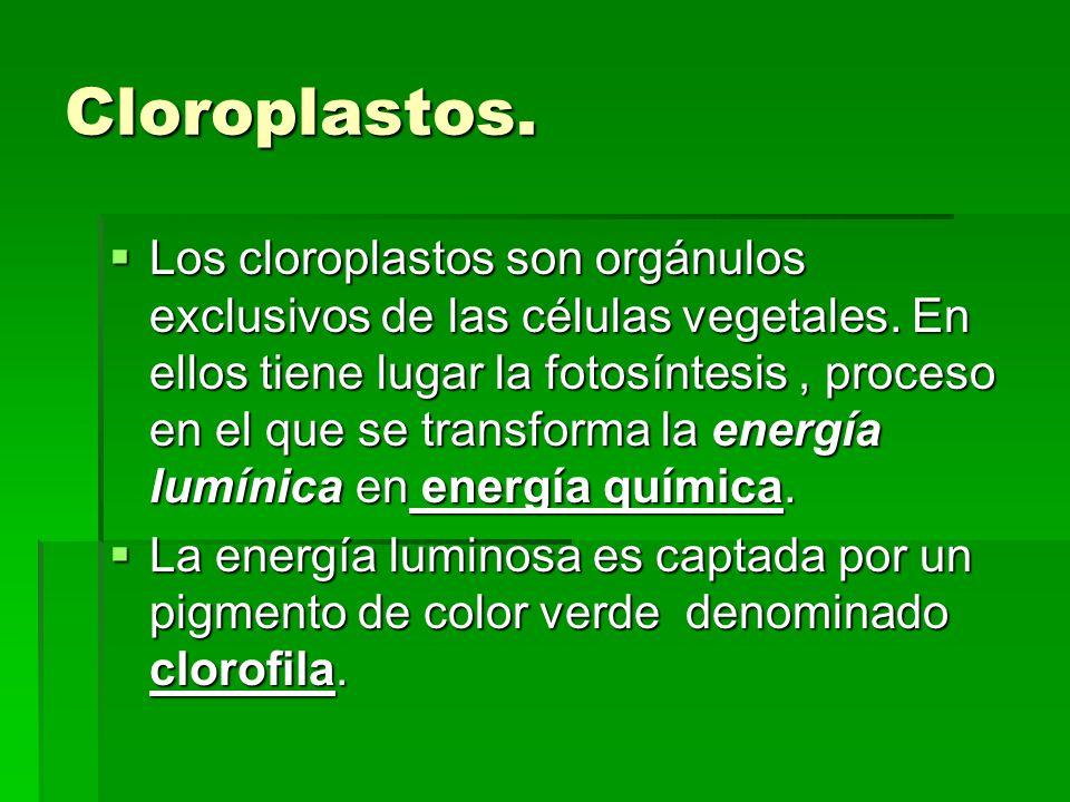 Cloroplastos.
