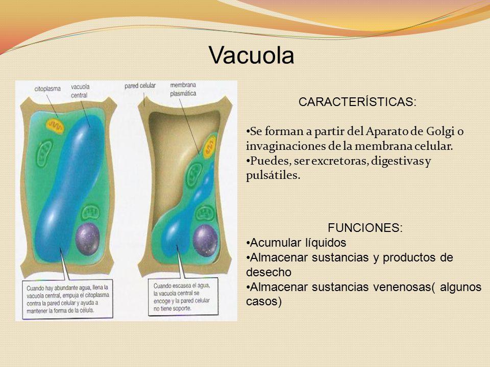 Vacuola CARACTERÍSTICAS: