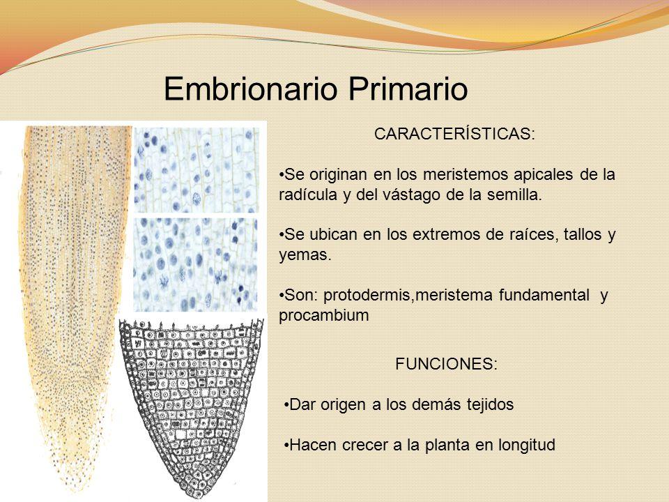 Embrionario Primario CARACTERÍSTICAS: