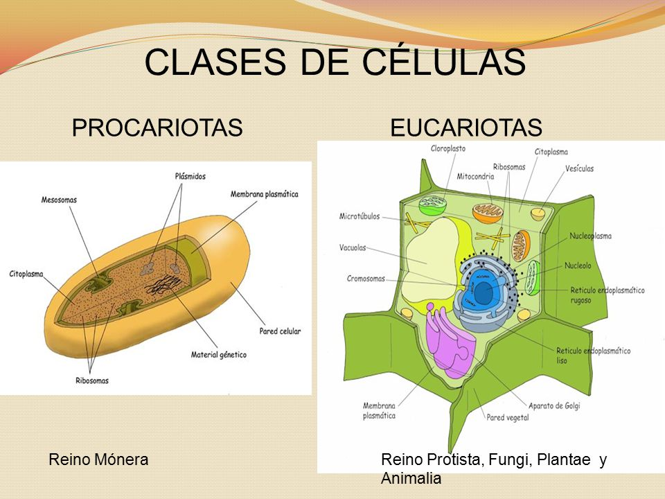 CLASES DE CÉLULAS PROCARIOTAS EUCARIOTAS