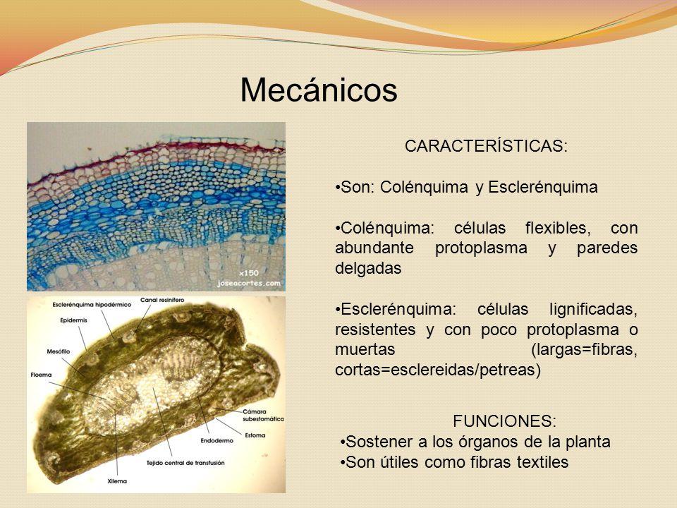 Mecánicos CARACTERÍSTICAS: Son: Colénquima y Esclerénquima