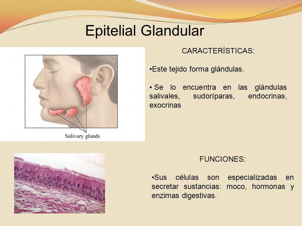 Epitelial Glandular CARACTERÍSTICAS: Este tejido forma glándulas.