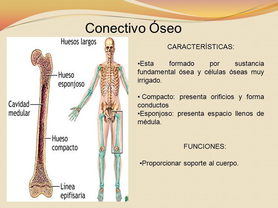 Conectivo Óseo CARACTERÍSTICAS: