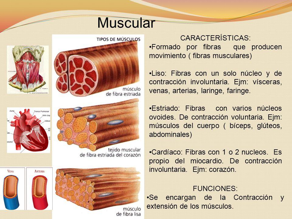 Muscular CARACTERÍSTICAS:
