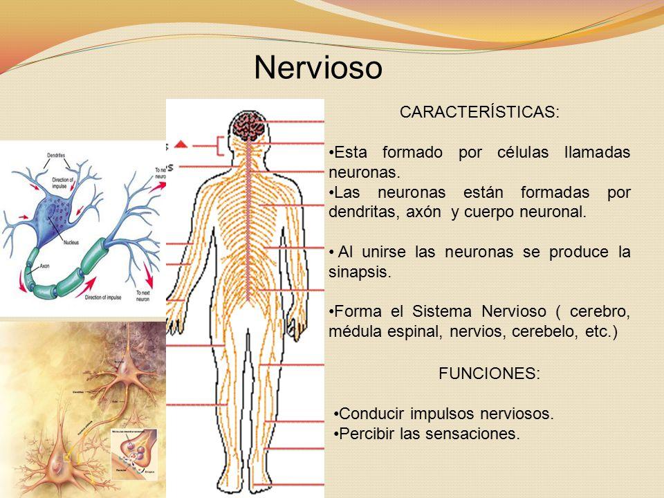 Nervioso CARACTERÍSTICAS: Esta formado por células llamadas neuronas.