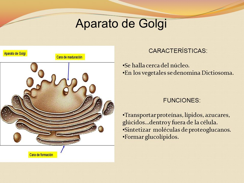 Aparato de Golgi CARACTERÍSTICAS: Se halla cerca del núcleo.