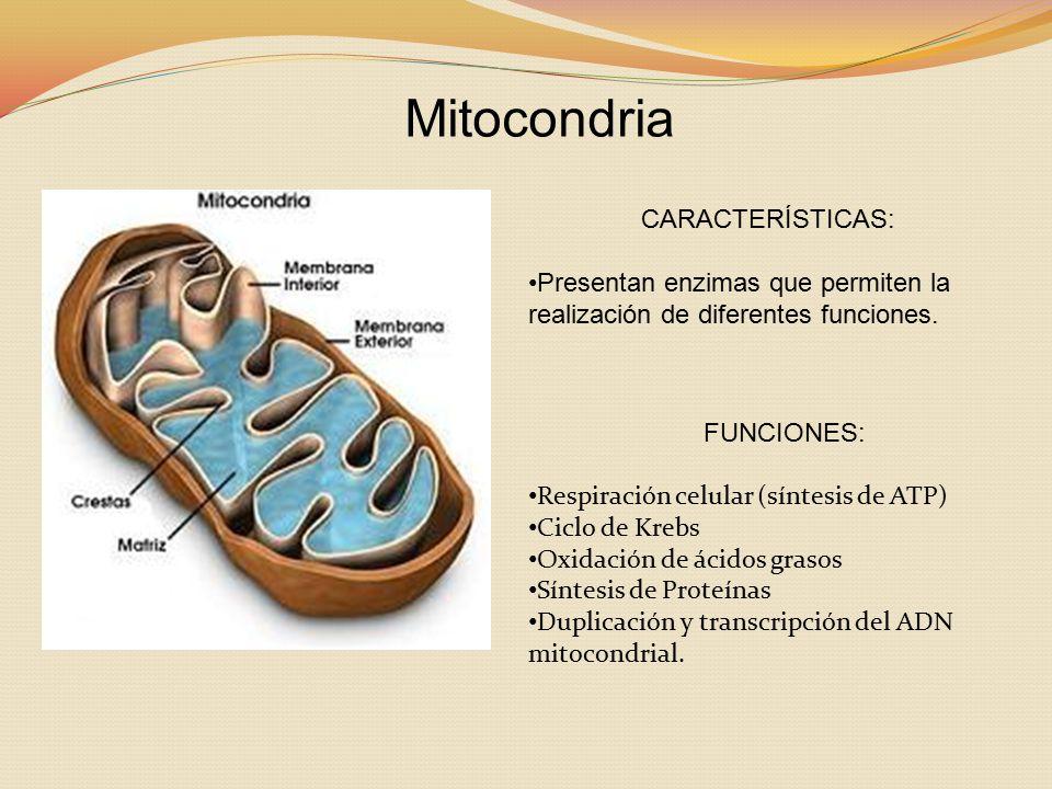 Mitocondria CARACTERÍSTICAS: