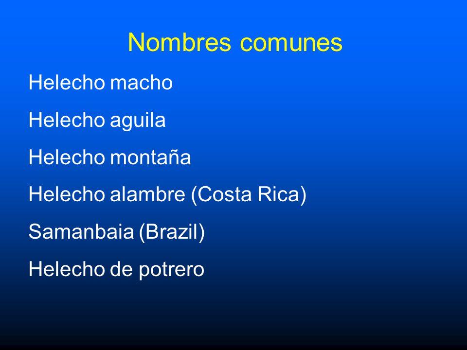 Nombres comunes Helecho macho Helecho aguila Helecho montaña