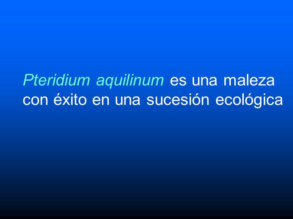 Pteridium aquilinum es una maleza con éxito en una sucesión ecológica