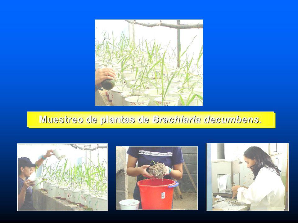 Muestreo de plantas de Brachiaria decumbens.