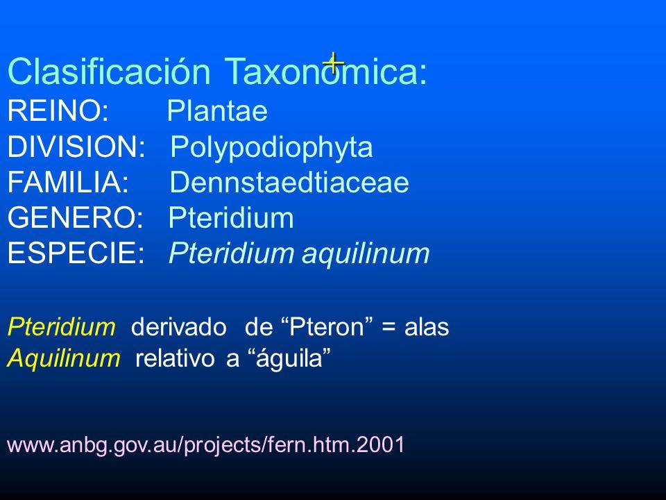 + Clasificación Taxonómica: REINO: Plantae DIVISION: Polypodiophyta