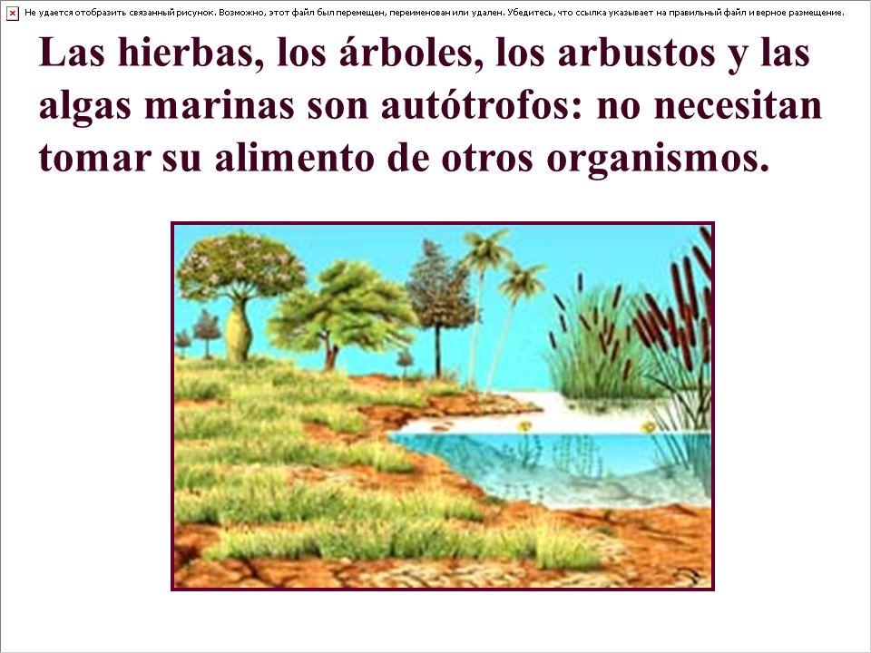 Las hierbas, los árboles, los arbustos y las algas marinas son autótrofos: no necesitan tomar su alimento de otros organismos.
