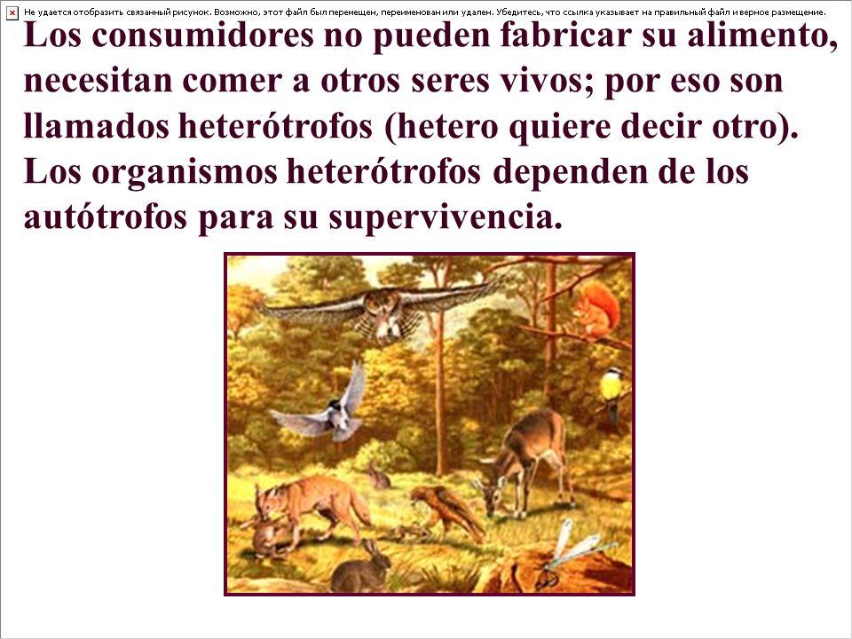 Los consumidores no pueden fabricar su alimento, necesitan comer a otros seres vivos; por eso son llamados heterótrofos (hetero quiere decir otro). Los organismos heterótrofos dependen de los autótrofos para su supervivencia.
