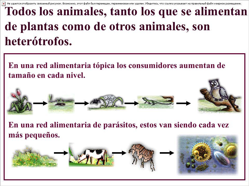 Todos los animales, tanto los que se alimentan de plantas como de otros animales, son heterótrofos.