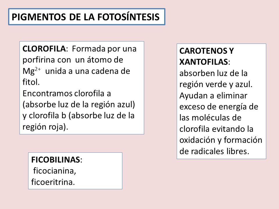 PIGMENTOS DE LA FOTOSÍNTESIS