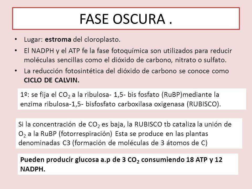 FASE OSCURA . Lugar: estroma del cloroplasto.
