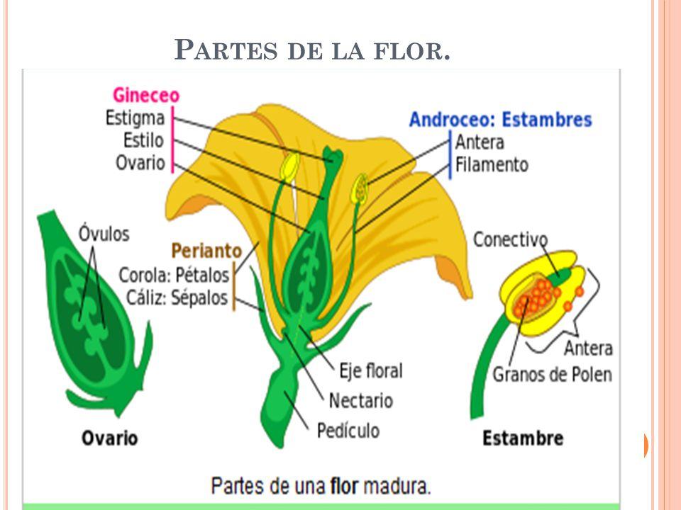 Partes de la flor.