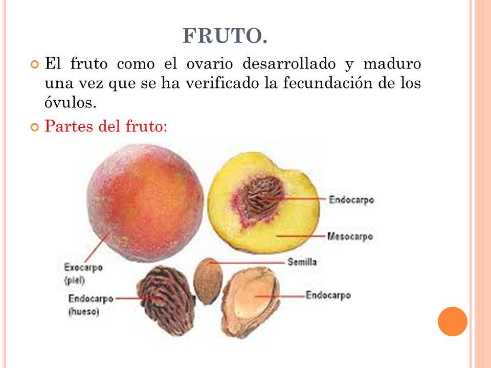 FRUTO. El fruto como el ovario desarrollado y maduro una vez que se ha verificado la fecundación de los óvulos.