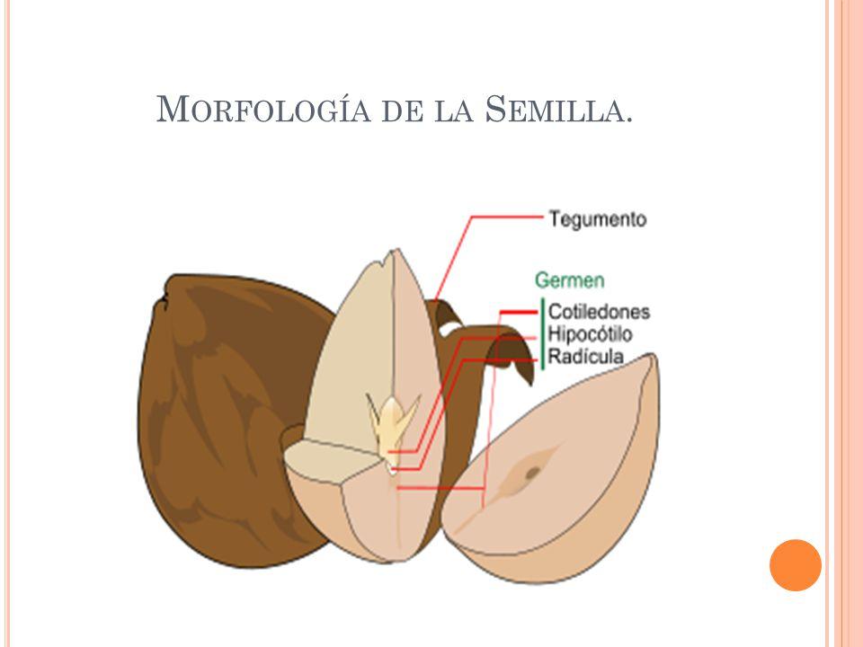 Morfología de la Semilla.