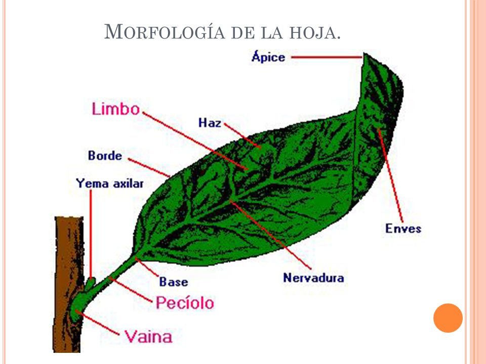 Morfología de la hoja.