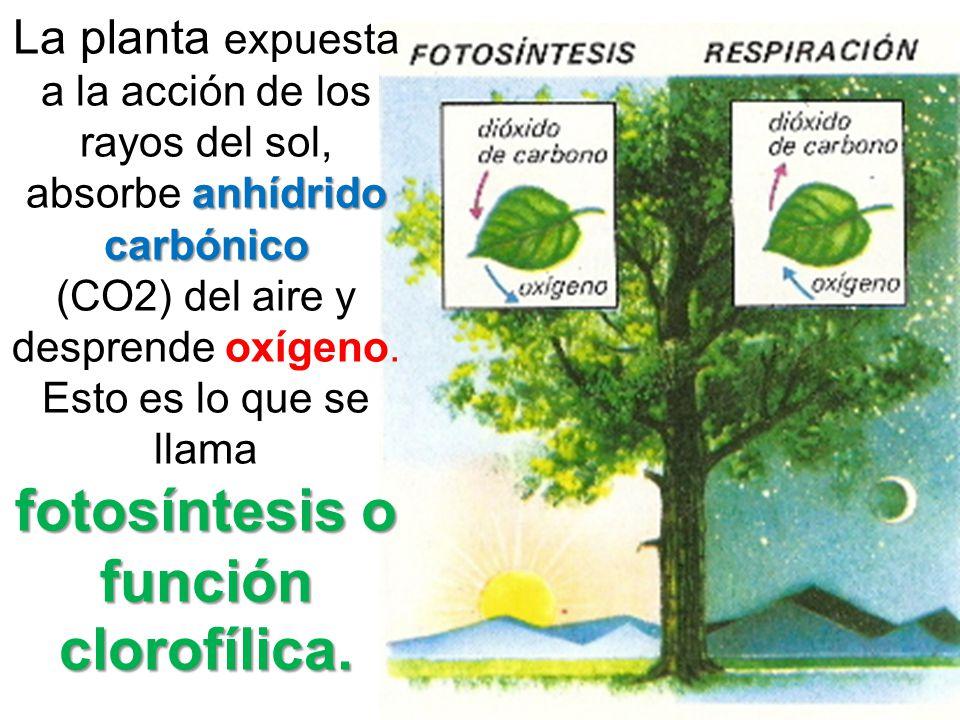 La planta expuesta a la acción de los rayos del sol, absorbe anhídrido carbónico (CO2) del aire y desprende oxígeno.